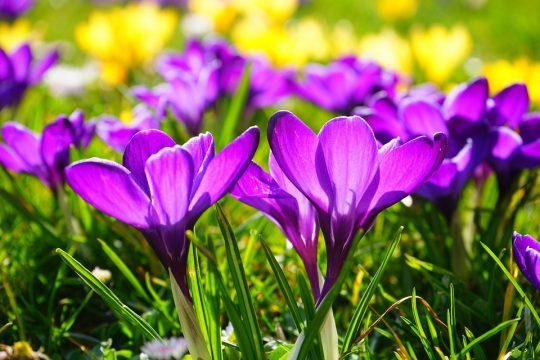 Spomladansko cvetje v dišavah…
